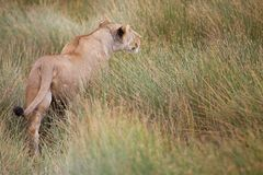 African lioness (Panthera leo) is hunting Stock Photography