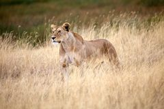 African lioness (Panthera leo) Royalty Free Stock Photography