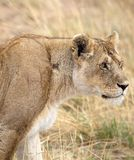 African lioness (Panthera leo) Royalty Free Stock Image