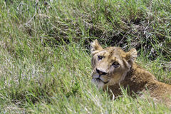 Lioness lying in grass Royalty Free Stock Photo