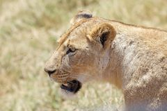 African lioness (Panthera leo) Royalty Free Stock Images