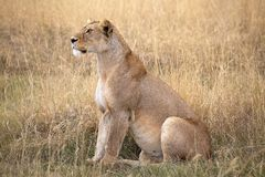 African lioness (Panthera leo) Stock Photo