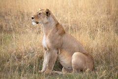 African lioness (Panthera leo) stock photo