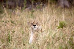 African lioness (Panthera leo) Stock Images