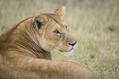 African Lioness (Panthera leo) in Tanzania. 's Serengeti National Park stock photography