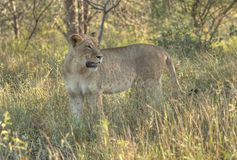 African Lioness. Portrait of a lone fully grown African lioness staring out through dappled sunshine set amongst African savannah bushveld Stock Image