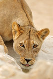 African lioness portrait Royalty Free Stock Images