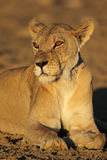 African lioness portrait royalty free stock photography