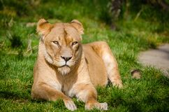 African Lioness relaxing after lunch Stock Images