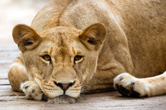 African lioness resting Royalty Free Stock Photos