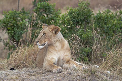 African lioness resting. In shadow, Eastern  Africa Royalty Free Stock Photo