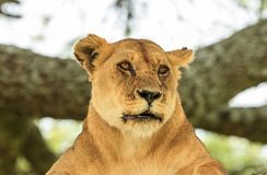 An African lioness resting on a tree. The East African lion Panthera leo melanochaita is a lion population in East Africa. In this part of Africa, lions occur in royalty free stock photo