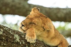 An African lioness resting on a tree. The East African lion Panthera leo melanochaita is a lion population in East Africa. In this part of Africa, lions occur in stock image