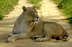 Free African Lioness Road Block Stock Images - 3269284