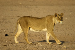 African Lioness. Side profile of a Kalahari lioness Royalty Free Stock Images