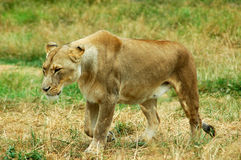 African Lioness Stalking. African lioness walking and stalking, full body in a savanna or grassland Royalty Free Stock Image