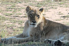 African Lioness. Sunbathing in the afternoon royalty free stock photography