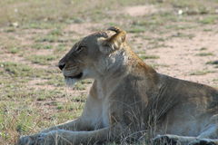 African Lioness. Sunbathing in the afternoon royalty free stock image
