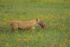 An African lioness taking a piece of a kill. The East African lion Panthera leo melanochaita is a lion population in East Africa. In this part of Africa, lions royalty free stock photo