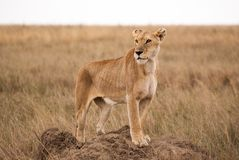 African lioness on termite hill in Serengeti national park. A lioness stands proudly on a termite hill, to look out over the Serengeti plains, while her cubs are Stock Image