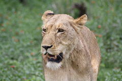 African lioness walking closeup looking right. In South Africa stock photo