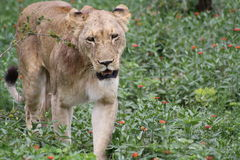African lioness walking closeup looking. In South Africa royalty free stock photo