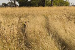 African lioness walking in tall grass. Botswana Royalty Free Stock Photos