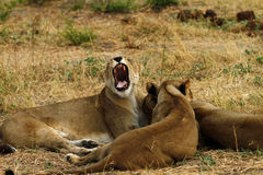 African Lionesses One of the Big Five Stock Photography