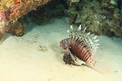 African lionfish royalty free stock photo
