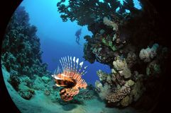 African lionfish Stock Photo