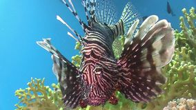 African lionfish on Coral Reef stock footage