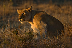 African Lionness. African Lioness sitting upright in early morning sunlight Stock Photo