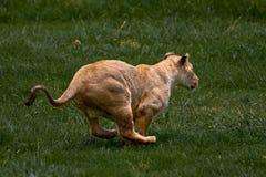 African Lionness. African Lioness running through green grass Stock Photo