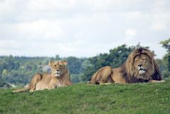 African Lions. Male ad female Lions (Panthera leo) from Africa royalty free stock photos