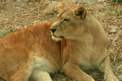 African lions. African lion is the largest cats, beauty and ferocity Stock Images
