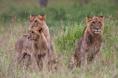 African Lions Royalty Free Stock Photography