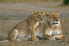African Lions. Two African lions, mother and cub, contemplating Stock Photography