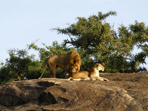 African Lions. A pair of African lions, one of the big five Stock Photos