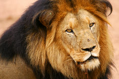 African Lions Royalty Free Stock Photos