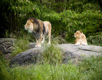 African Lions Stock Images