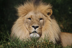 African Lions Stock Image