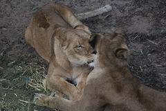 African lions cleaning Royalty Free Stock Photography