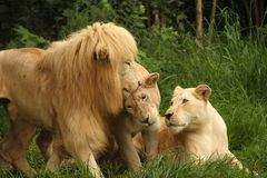 African lions in the grass. Three African lions sitting in the grass, cuddling each other, South Africa stock images