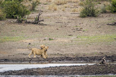 African lions in Kruger National park, South Africa Stock Image