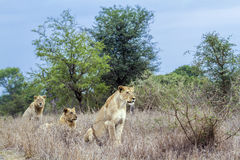 African lions in Kruger National park, South Africa. Specie panthera leo family of felidae, African lions ready for hunting in savannah,  in Kruger National park Royalty Free Stock Image