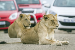 African lions in Kruger National park, South Africa. Specie panthera leo family of felidae, African lions on the road ,  in Kruger National park, South Africa Stock Photography