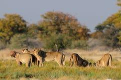 Lion family  look curious, etosha nationalpark, namibia Stock Photo