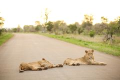 African Lions lying in a road. On Safari in a South African Game Reserve stock photo