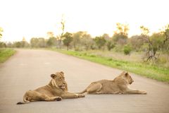 African Lions lying in a road. On Safari in a South African Game Reserve stock images