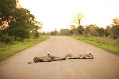 African Lions lying in a road. In a South African Game Reserve royalty free stock photos